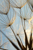 Dandelion flower at sunset. Beautiful nature details stock photos