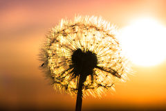 Dandelion flower with sunset Stock Photography