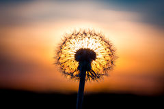 Dandelion flower with sunset Stock Images