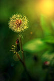 Dandelion flower in sunset light Stock Photography