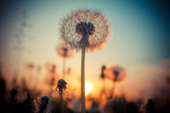 Dandelion flower at sunset Royalty Free Stock Image