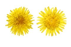 Dandelion flower or Taraxacum Officinale isolated on white background.  royalty free stock images