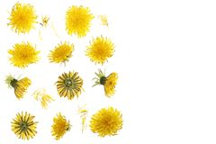 Dandelion flower or Taraxacum Officinale isolated on white background with copy space for your text. Top view. Flat lay royalty free stock image