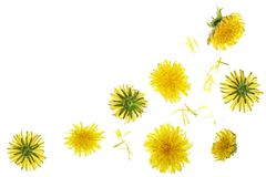 Dandelion flower or Taraxacum Officinale isolated on white background with copy space for your text. Top view. Flat lay stock photo