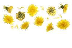 Dandelion flower or Taraxacum Officinale isolated on white background with copy space for your text. Top view. Flat lay stock image
