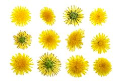 Dandelion flower or Taraxacum Officinale isolated on white background. Top view. Flat lay pattern stock photo