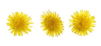 Dandelion flower or Taraxacum Officinale isolated on white background. Top view. Flat lay pattern stock photos