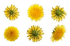 Dandelion flower or Taraxacum Officinale isolated on white background. Top view. Flat lay pattern royalty free stock photo