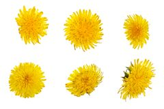 Dandelion flower or Taraxacum Officinale isolated on white background. Top view. Flat lay pattern stock image