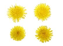 Dandelion flower or Taraxacum Officinale isolated on white background. Top view. Flat lay pattern royalty free stock image