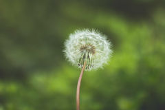 Dandelion Flower in Tilt Shift Lens Royalty Free Stock Image