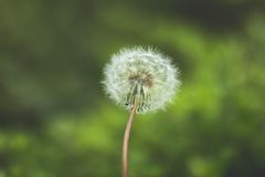 Dandelion Flower in Tilt Shift Lens Stock Photo