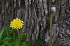 Dandelion Flower Tree Bark Background stock photography