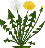 Dandelion flower. Vector Royalty Free Stock Photos