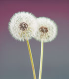 Dandelion flower on violet color background, many closeup object Royalty Free Stock Images
