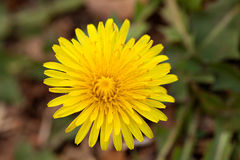 Dandelion Flower Weed Royalty Free Stock Photo