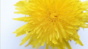 Dandelion flower on white background closeup. Rotation. Dandelion flower on white background closeup stock footage