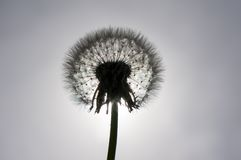 Dandelion. Flower on a white background, silhouette royalty free stock image