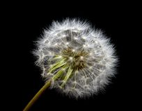 Dandelion flower in white down isolated on black background. For design stock photo