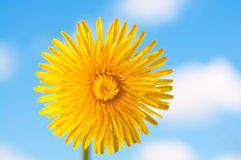 Dandelion Flower. Yellow dandelion flower against the blue sky and clouds Stock Photo