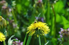Dandelion flower. Yellow dandelion flower with bee Royalty Free Stock Photos