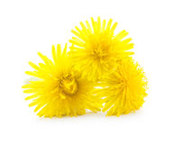 Dandelion flower. Yellow dandelion flowers isolated on white background royalty free stock photo