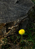 Dandelion flower. A yellow dandelion flower is in full bloom near a residual root of a tree in spring royalty free stock photos