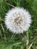 Dandelion flowering in the field.  Royalty Free Stock Photography