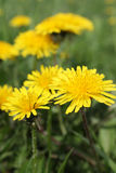 Dandelion flowers. On nature - close-up view royalty free stock image