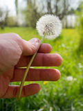 Dandelion flowers. Dandelion flower in spring time stock image