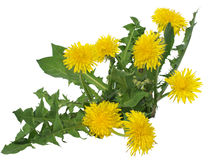 Dandelion flowers. Dandelion flowers, isolated, on white background stock image