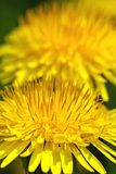 Dandelion flowers. With selective focus royalty free stock photos