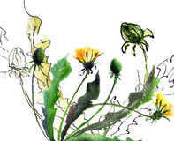 Dandelion flowers. Watercolor illustration of Dandelion flowers Stock Images
