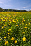 Dandelion Flowers. Beautiful view of dandelion flowers during the spring day stock photos