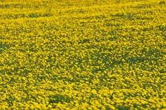 Dandelion Flowers Stock Image