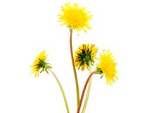 Dandelion flowers Royalty Free Stock Photos
