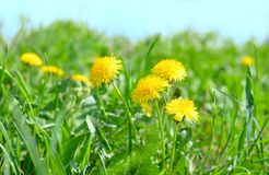 Dandelion flowers background. Beautiful yellow spring dandelion flowers background royalty free stock photo