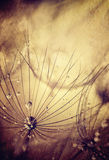 Dandelion flowers background. Grunge abstract natural backdrop, dew drops on dry flower head, beautiful floral wallpaper Stock Images