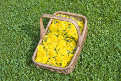 Dandelion flowers in a basket Royalty Free Stock Images