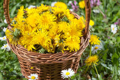 Dandelion Flowers in Basket on Meadow. Dandelion Flowers in a Basket on Meadow royalty free stock images