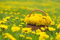 Dandelion flowers in a basket in sunlight royalty free stock image