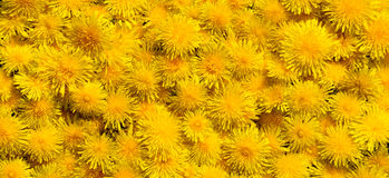 Dandelion flowers big size panorama