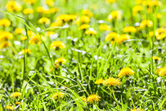 Dandelion flowers in bloom Royalty Free Stock Photography