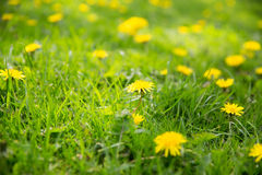 Dandelion flowers blooming on summer field Stock Photography