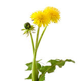 Dandelion. Flowers and a bud of dandelion Taraxacum officinale stock image