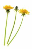 Dandelion. Flowers and a bud of dandelion (Taraxacum officinale), isolated in front of white background Stock Photography