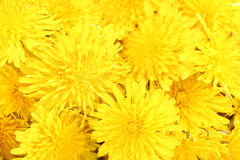 Dandelion flowers close-up Stock Image