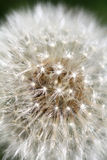 Dandelion flowers close-up Stock Photo