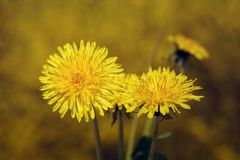 Dandelion flowers. Closeup of yellow spring dandelion flowers royalty free stock photo