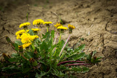 Dandelion flowers on dry land Royalty Free Stock Photo